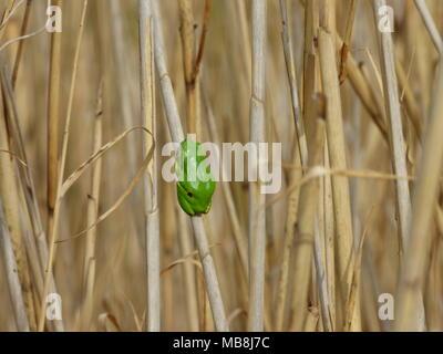 Solo pequeña rana arborícola verde europeo - Hyla Arborea en el ...