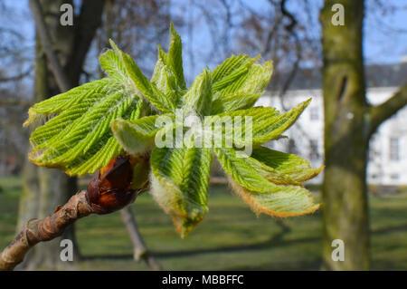 10 de abril de 2018, Alemania, Neuhardenberg: La luz verde de una Chestnut Bud brilla mucho en el parque del palacio. Hoy va a ser un cálido día de primavera con 20 grados de acuerdo a los meteorólogos. Foto: Patrick Pleul/dpa-Zentralbild/dpa