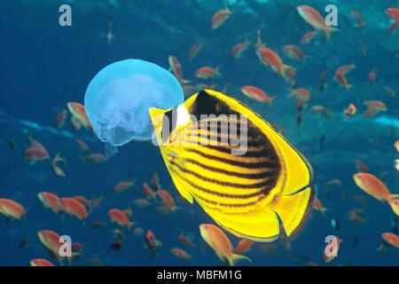 Butterflyfish seccionado (Chaetodon fasciatus) comiendo una medusa Luna (Aurelia aurita), Hurghada, Egipto