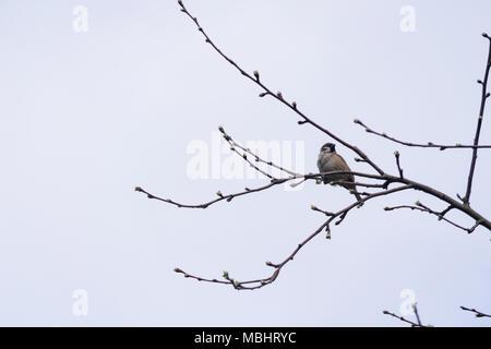 Polonia, Głębowice, 11 Abr 2018. Gorrión doméstico (Passer domesticus). El gorrión en Polonia la población se estima en 5,7 - 6,9 millones de pares. Representa casi 4 partes de la población europea. En los años 80 del siglo anterior, era 3 veces más que hoy. 20 de marzo celebramos el Día Internacional de Sparrow. Crédito: w124merc / Alamy Live News