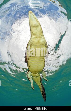 El cocodrilo de agua salada (Crocodylus porosus), el más grande de todos los reptiles vivos, Kimbe Bay, West New Britain, Papua Nueva Guinea