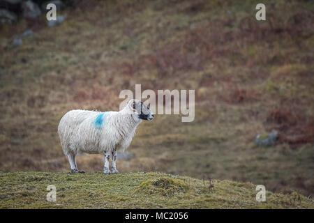 Retrato de perfil de un solitario permanente ram en la ladera en el mojado con gotas de lluvia y mojado wooly untar mirando a la derecha