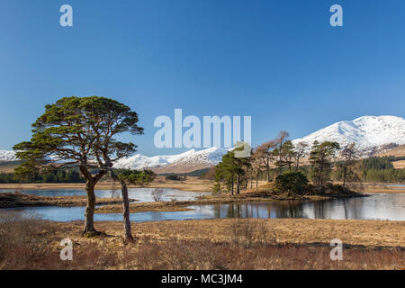 Pino silvestre (Pinus sylvestris) a lo largo de Loch Tulla en las Highlands escocesas en invierno, Argyll and Bute, en Escocia, Reino Unido