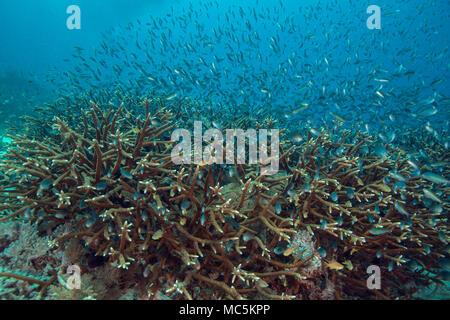 La coral de cuerno de ciervo (Acropora cervicornis). Foto tomada en el mar de Ceram, Raja Ampat, Papua Occidental, Indonesia