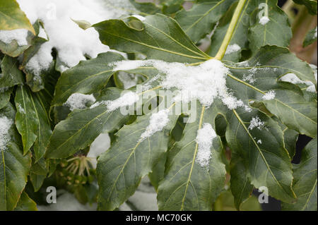 Capa cerosa gruesa sobre hojas verde oscuro japonés protege contra la capa de nieve de la aralia Foto de stock