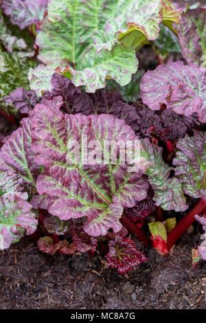 """Rheum × hybridum 'Reed's temprano excelente"""". """"Ruibarbo Reed's temprano magnífica' crecen en un huerto, a principios de abril. UK"""