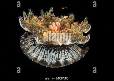Imitar es pariente cercano las anémonas de mar, medusas, Cassiopea esta boca abajo medusae, es frecuentemente visto descansando, bell, tentáculos, en