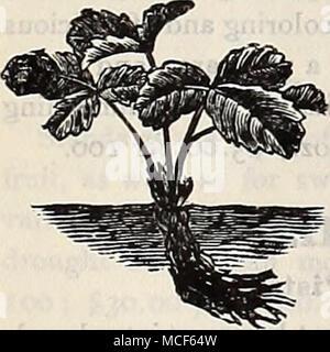 . Nuestro bote-cultiva plantas de fresa generalmente están listos para ;:;^^3^^^--^^^^----^^^^^^-^^^^^ el envío de la última parte de Julio y pueden ser suministrados como a finales de octubre. Es mejor, sin embargo, para adquirir las plantas en agosto o septiembre, como siembras anteriores desarrollar mayores y más vigorosas y producir una mayor cosecha de frutas el próximo año. Nos transmita por expresar, a cargo del comprador. Las plantas son embalados de forma compacta y tan ligero como sea posible, y recomendamos a los compradores a sus órdenes han transmitido de esta manera. No hacemos ningún cargo para cajas o embalaje. W Direcciones para jardín Cultura ^° c^