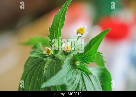 Galinsoga quadriradiata, Galinsoga ciliata shaggy soldado peruano, Daisy, peludo galinsoga, franjada quickweed