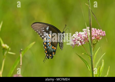 03029-01318 Spicebush especie butterfly (Papilio Troilo) en el Pantano (Asclepias Asclepias incarnata) Marion Co., IL Foto de stock