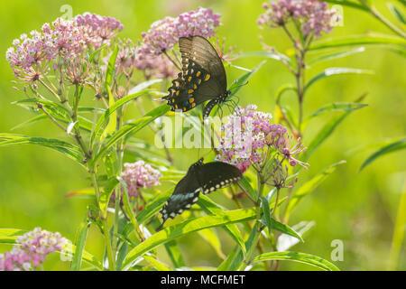 03029-01503 Spicebush especie mariposas (Papilio Troilo) masculino y femenino en el Pantano (Asclepias Asclepias incarnata), Marion Co., IL Foto de stock