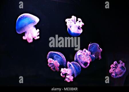 White-spotted Jellyfishs (Phyllorhiza punctata) en el Oceanarium, Madrid, España