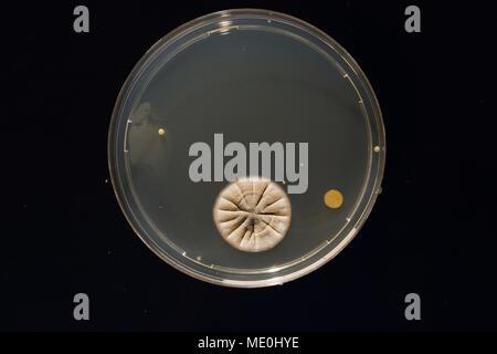 Las culturas crecen en una placa de Petri.