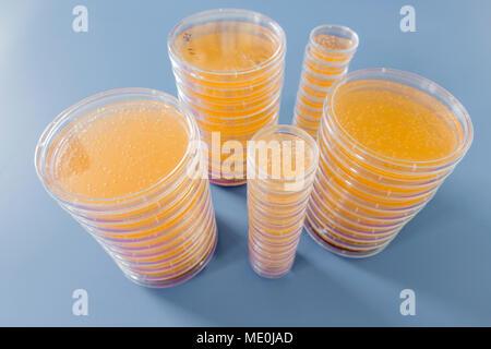 Placas de agar. Las pilas de placas de Petri con agar cultivada.