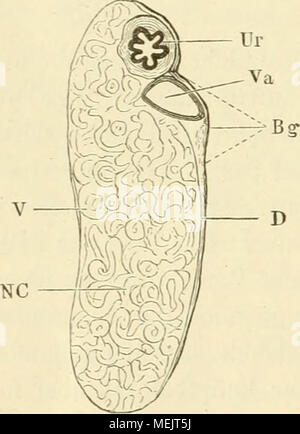 . Die anatomie des frosches. Ein Handbuch für physiologen, ärzte und studirende . Niere Querschnitt durch die. (V Ventrale Nierenfläche Lupenvergrösserung ). I) Dorsale Nierenfläche. Ur del uréter. Va a la Vena advehens. Así Letztere- wohl wie der uréter sind von stark pigmentirtem Bindegewebe (B </) über- zogen. NC (skizzirt Nierencanälchen). x) muere en den Abhandlungen einstweilen ist der Gesellschaft naturforschenden zu Halle, Bd. XV, geschehen. 2) Beim Weibchen läuft der uréter nicht durch die Leibeshöhle Frei, hijo- dern legt sich von der Stelle an, wo er den lateralen Nierenrand verlässt und w