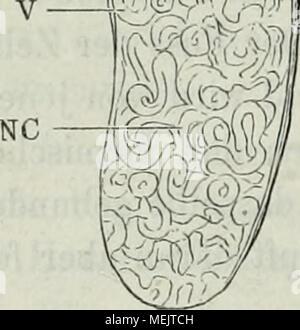 . Die Anatomie des Frosches : Ein Handbuch, . Niere Querschnitt durch die. (V Ventrale Nierenfiäche Lupenvergrösserung). D Dorsale Nierenfläche. Ur del uréter. Va a la Vena advehens. Así Letztere- wolil wie der uréter sind von stark pigraentirtem Bindegewebe (B g) über- zogen Nierencanälchen (skizzirt, NC). ^) muere en den Abhandlungen einstweilen ist der Gesellschaft naturforschenden zu Halle, Bd. XV, geschehen. '^) Beim AVeibchen läuft der uréter nicht durch die Leibeshöhle Frei, hijo- dern legt sich von der Stelle an, wo er den lateralen Nierenrand wo beim Männchen verlässt und die gleich zu beschreibe