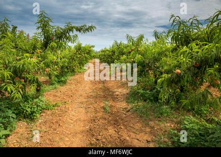 Peach Orchard y cielo nublado. Campo con árboles de durazno y un camino de tierra.