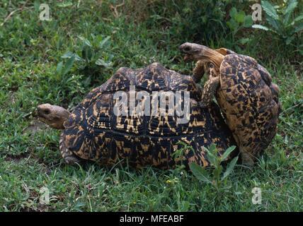 Tortugas leopardo par acoplamiento Geochelone pardalis Parque Nacional del Serengeti, Tanzania, África
