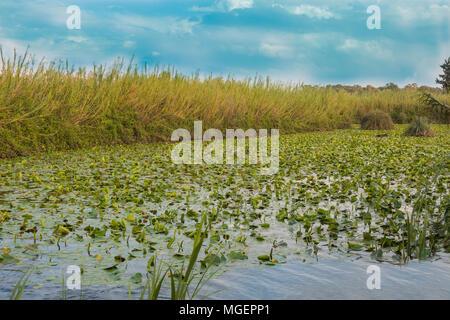 Lirio de agua piscina de Yarkon National Park - estanque lleno de nenúfares amarillos (Nuphar lutea).