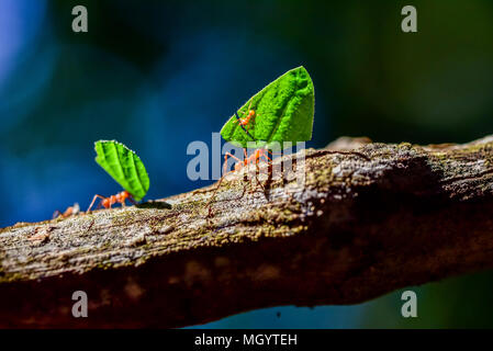 Las hormigas están llevando en hojas Foto de stock