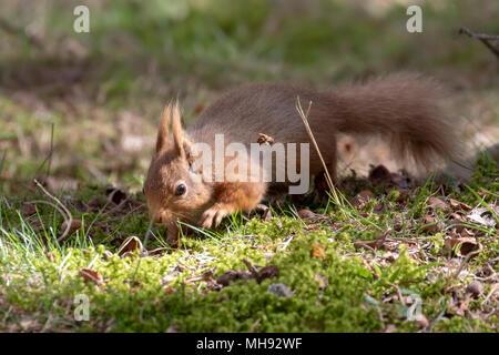 La ardilla roja, Sciurus vulgaris, silueta sentada en brezo y hierba en los bosques de cairngorms national, Escocia comer nueces