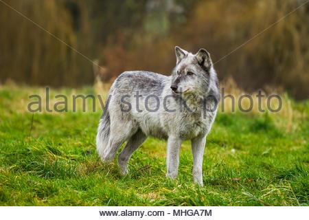 El Reino Unido Wolf Conservation Trust lobos deambulan por sus gabinetes en Beenham, Berkshire durante un día nublado brillante 0n 12 de enero de 2017