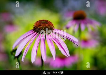 Cerca de una flor en el jardín echinecea fotografiados con un lente de especialidad para obtener la profundidad de campo y cremoso de fondo.