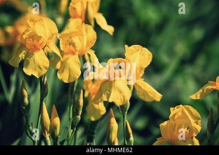 Barba amarilla flores de iris