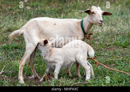Bebé recién nacido cabra retrato mientras succiona la leche de la madre.