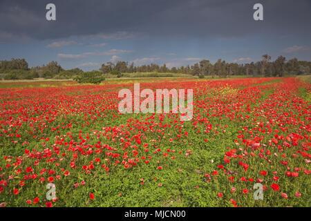 Italia, Cerdeña, costa oeste, Oristano, Riola Sardo, campo de amapolas,