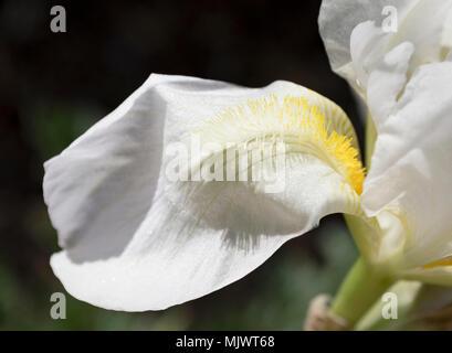 Primer plano de un pétalo de flor de iris blanco con barba amarilla mostrando las venas