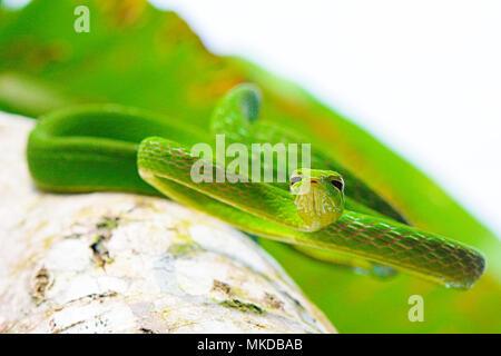 La serpiente (vid Ahaetulla prasina) de Tomohon Sulawesi Norte.