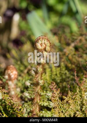 Cerca de la punta de un ondear fronda de Polystichum setiferum Plumosomultilobum