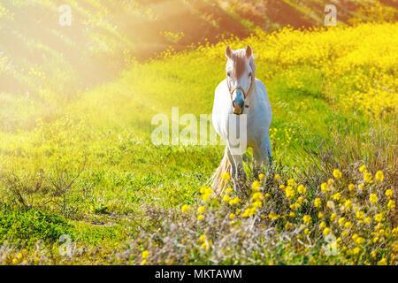 Caballo blanco andaluz está de pie en la pradera durante la puesta de sol