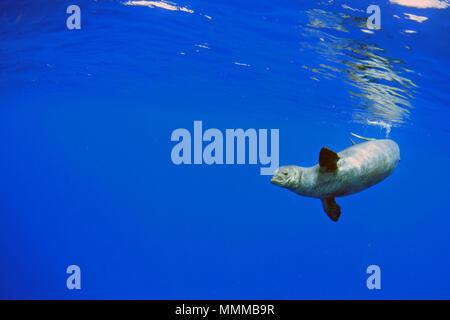Una especie amenazada de foca monje hawaiana, Neomonachus schauinslandi, nadar en el océano azul, Niihau, Hawaii, EE.UU.