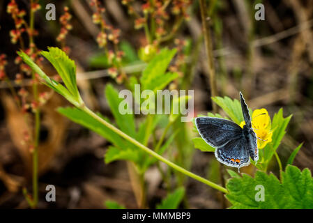 Una foto de una cola Oriental mariposa azul sobre fondo amarillo wildflower. Foto de stock