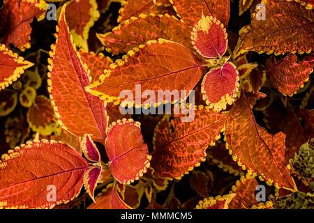 Vistazo a la intrincada hojas de una planta Coleus coloridos. Esta variedad tiene brillantes principalmente hojas de color rojizo con bordes amarillos.