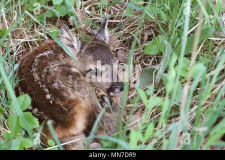 Poco de ciervo en la hierba. Capreolus capreolus. .La vida silvestre de la naturaleza de la escena Foto de stock