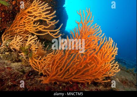 Ventilador gorgonia amarilla coral en el Mar Mediterráneo | Mittelmeer Fächerkoralle / Gelbe Gorgonien (Eunicella cavolinii)