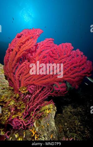 Abanico rojo coral en el Mediterráneo |Rote Fächerkoralle im Mittelmeer | (Paramunicea clavata)