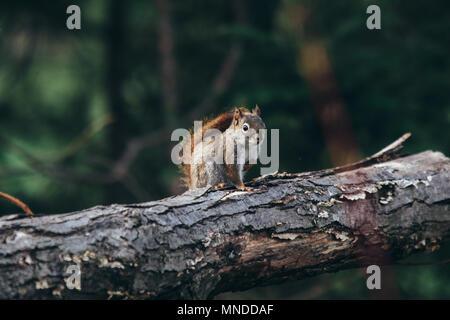 Ardilla roja sobre un árbol log