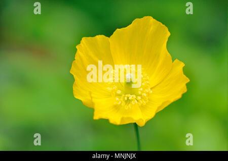 Islandia amarillo amapola (Papaver nudicaule), blossom, Renania del Norte-Westfalia, Alemania
