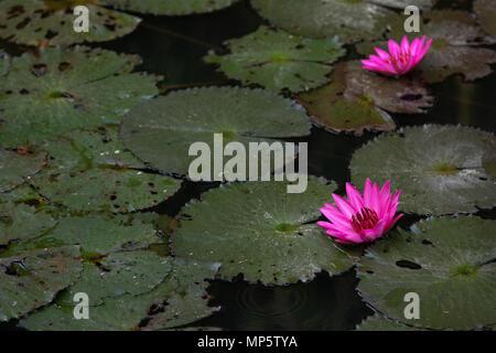 Rosa Nenúfar en un estanque pequeño