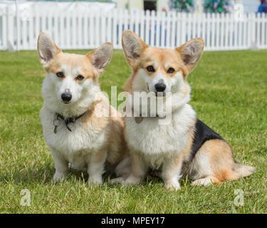 Dos perros corgi Pembroke