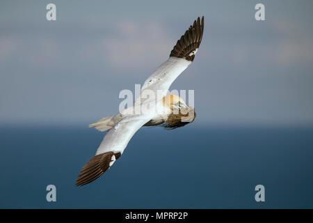 Escocia, volando el Norte gannett con material de anidación Foto de stock