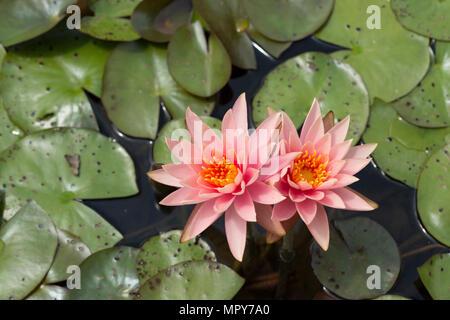 Un alto ángulo de vista de lotus lirios de agua en el estanque Foto de stock