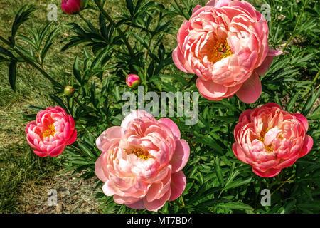 Paeonia lactiflora ' ' Encanto coral, rosa peonía, jardín de peonías Foto de stock
