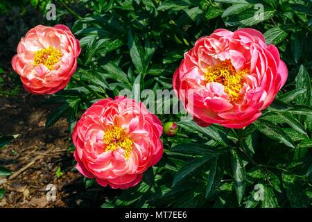 Paeonia lactiflora ' ' Encanto coral, rosa peonía , Peonías Foto de stock
