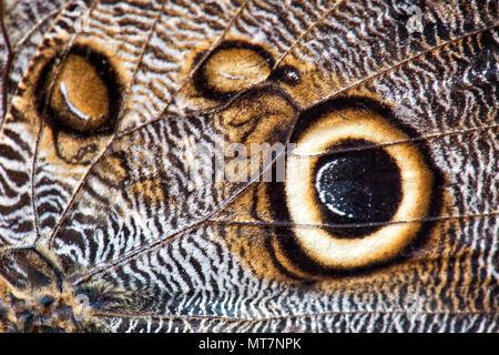 Bosque - Caligo eurilochus Búho Gigante, hermosa mariposa grande de América Central y América del Sur los bosques.