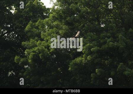 Una sola red kite, Milvus milvus vuela sobre un campo con árboles en el fondo. Espacio para copiar. Foto de stock